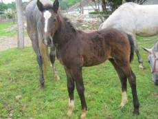 Maestoso Matild - 2013 grey filly
